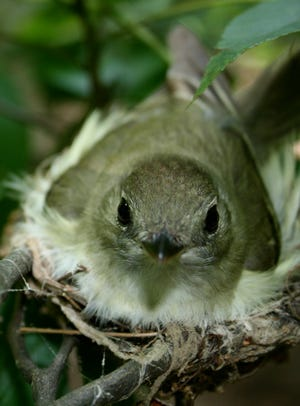 An Acadian Flycatcher, a common Indiana songbird, sits in a nest. Researchers predict that these abundant songbirds could be seriously threatened by the warming temperatures that come with climate change.