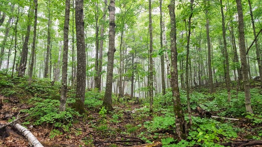 Fog gives the forest an eerie feel in the Porcupine Mountains Wilderness State Park in Michigan's Upper Peninsula.