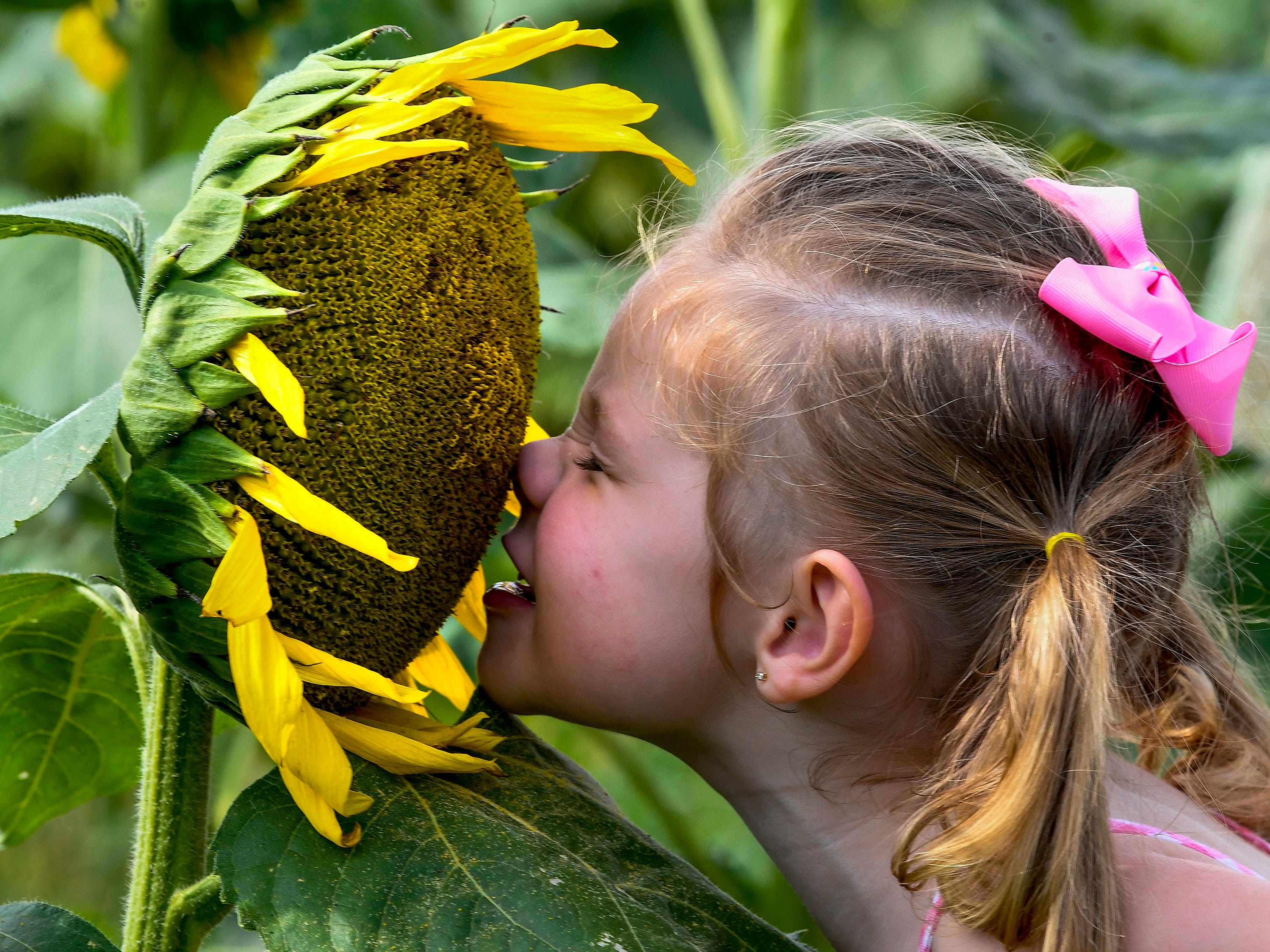 Callie Young smells a sunflower while visiting with her grandparents in the Sheridan family sunflower field about five miles west of Autaugaville, Ala. on Monday August 13, 2018.