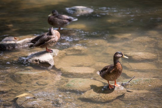 Ducks in the White River