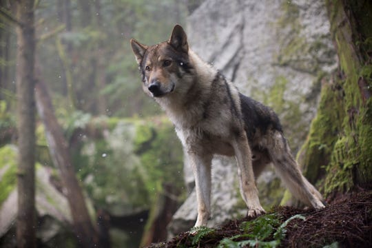 "The title character in ""Alpha"" is a gray wolf."