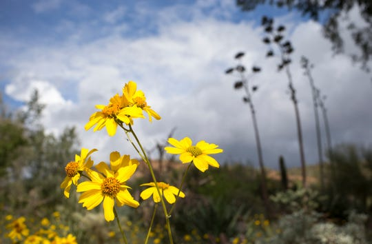 Better than a lawn? You bet. Brittlebush wildflowers can be part of desert landscaping
