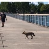 A coyote wandered out on the pier in Charlotte Saturday, ignoring people as it went. Former area resident Corey Backus captured this video.