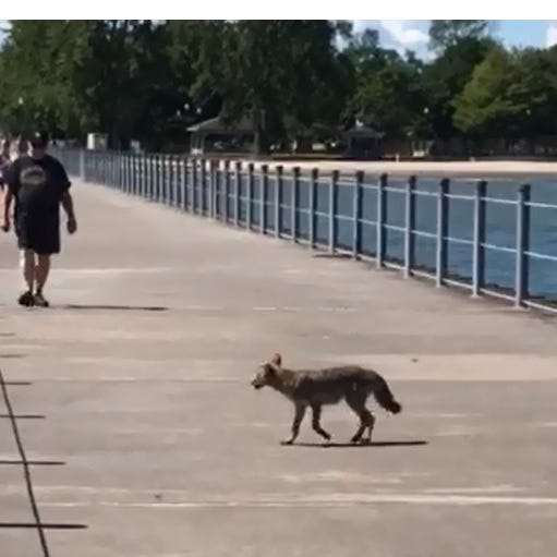 Coyote on Charlotte pier