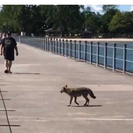 Coyote on the pier
