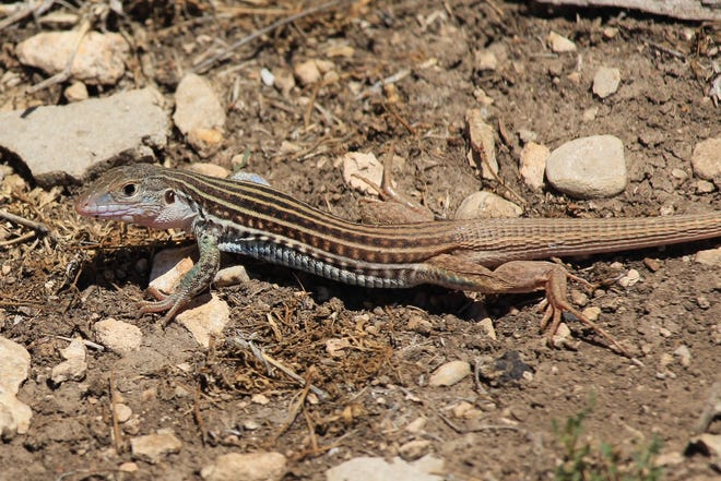 The habitats preferred by the Texas Spotted Whiptail are arid to semi-arid grasslands, rocky arroyos and rocky hillsides.