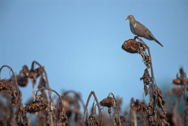 Sunflowers are a favorite food for doves. The 2021 dove hunting season in North Carolina begins Sept. 4.