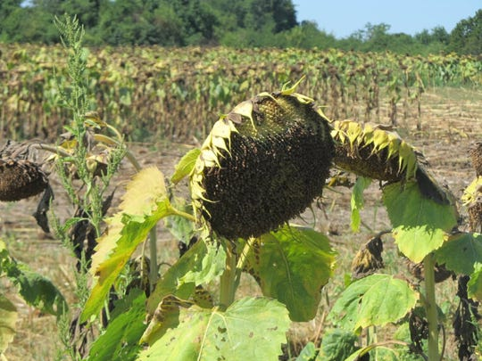 A perfect spot for opening day of the dove season, a field full of sunflowers, a favorite food for the doves.