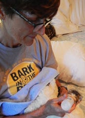 Maisy the kitten gets some TLC from foster mom Anne Cahill. The Humane Society of Vero Beach and Indian River County has about 30 specially-trained foster parents take newborn kittens into their homes .