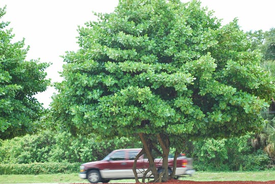 What is this plant is more easily answered when plenty of information is provided. The lovely specimen pictured was in a road median in South Florida. The truck speeding past gives a size reference. The plant is Clusia rosea AKA Autograph Tree, Balsam Apple, and Pitch Apple.