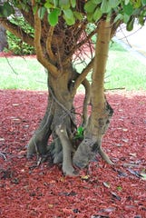 The structure of a trunk or base often helps identify a plant or tree. Clusia rosea AKA Autograph Tree, Balsam Apple, and Pitch Apple. This plant is often planted as a hedge.