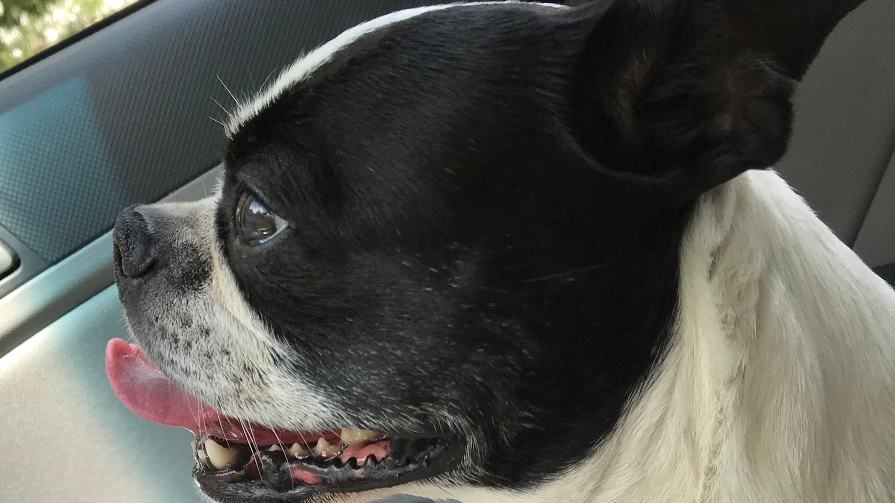 Little Dog Found In New Jersey Tagged In New York Returned Next Door