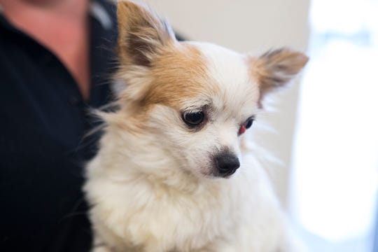 Cherri, a Chihuahua mix is one of the many dogs surrendered by a Georgetown breeder that will be up for adoption at the Georgetown campus for the Brandywine Valley SPCA this week.