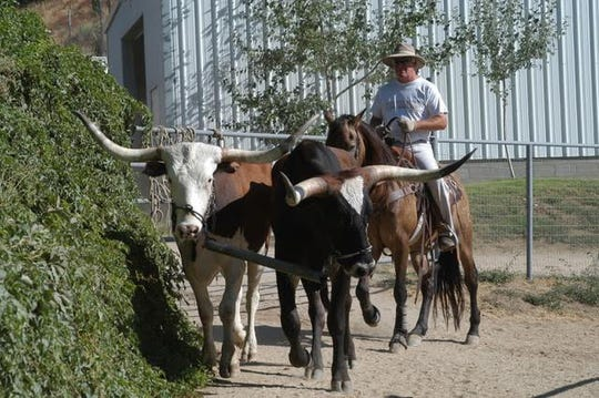 "Sled Reynolds wrangles some longhorn cattle as part of production work on the TV series ""Yellowstone."""