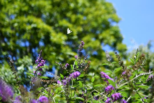 A white butterfly flutters around a butterfly bush in Ginger Graziano's backyard garden on Thursday, Aug. 9, 2018.