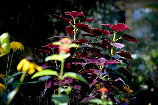 Coleus grows in the front yard portion of Ginger Graziano's garden in West Asheville. Another Coleus plant in her garden has an opposite color scheme.