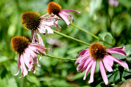Echinacea grows in Ginger Graziano's garden in West Asheville.