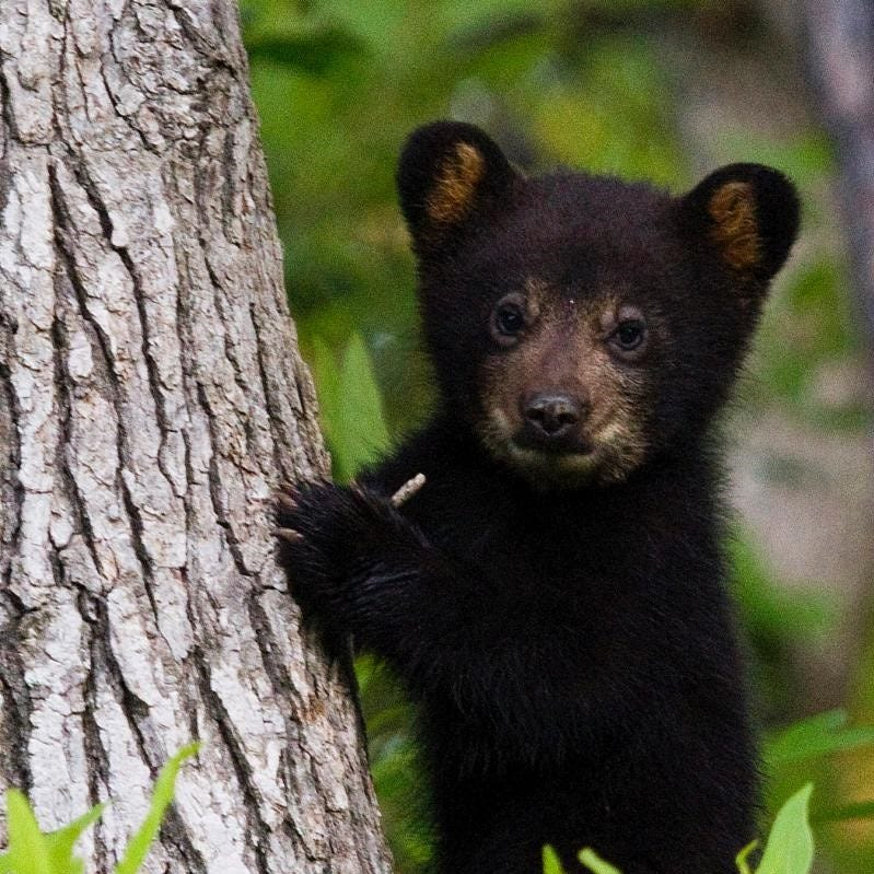 Forest Service wants to mandate bear-proof food containers for overnight campers