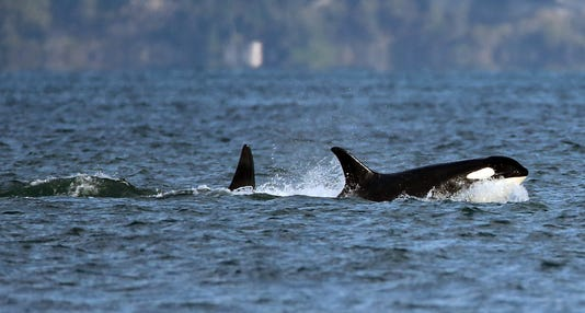 Southern Resident Orcas File01