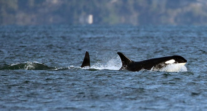 Just 75 Southern Resident orcas remain, down from 98 in 1995. Experts fear little time is left to save the population from extinction.