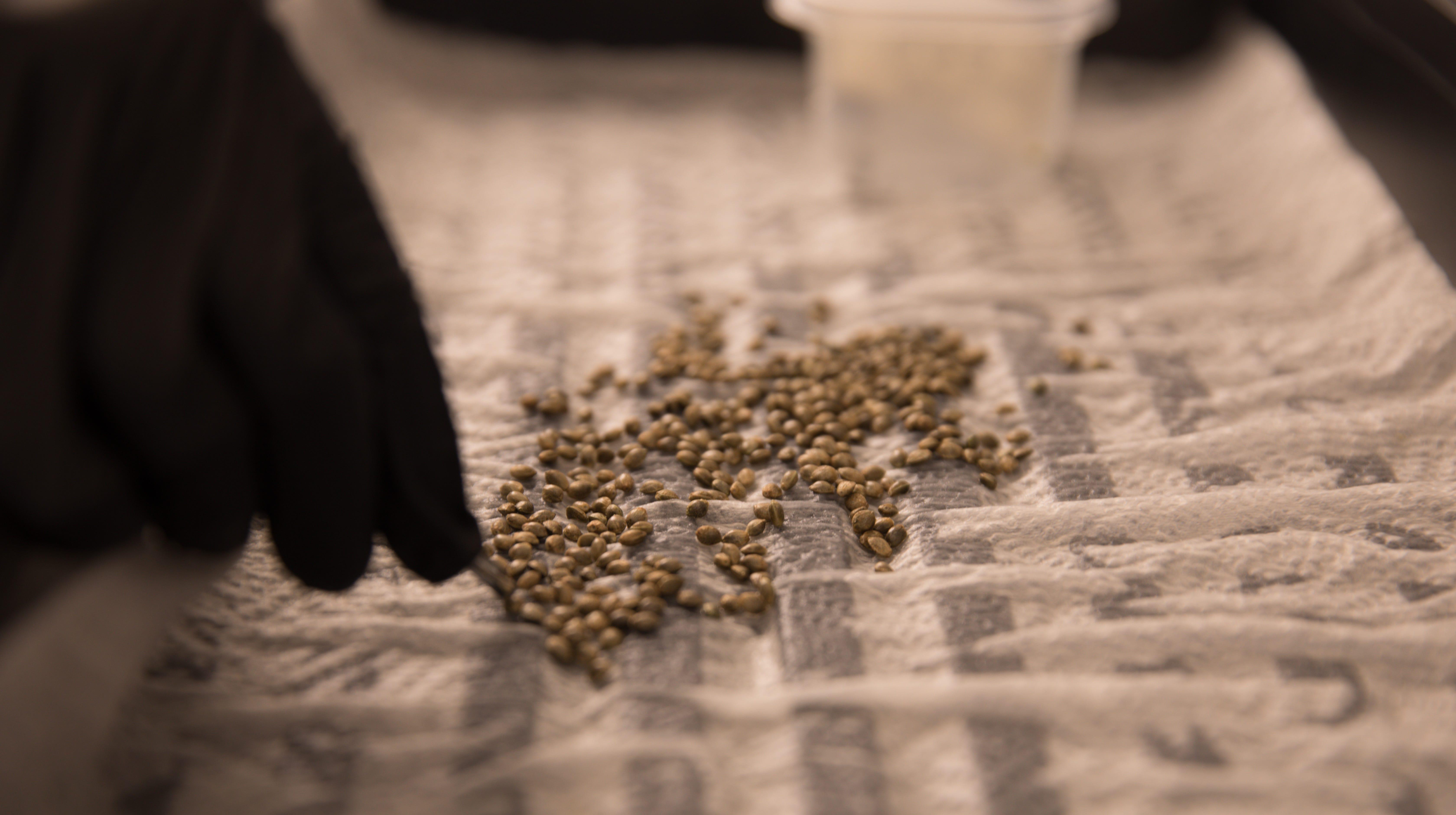 Medical marijuana in Ohio: Take a peek at first seeds planted