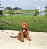 Max, a goldendoodle puppy, poses while on a walk outside of Holmes Murphy in Waukee. The insurance company bought the dog to help boost office morale.