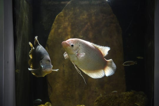 Giant Gourami fish are seen at the Belle Isle Aquarium in Detroit.