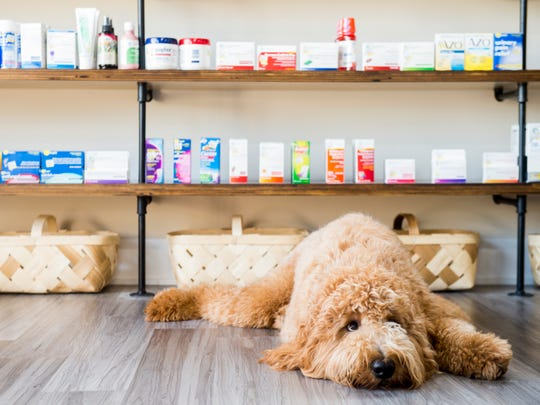 Chip, a goldendoodle owned by Rocky Hill Pharmacy co-owner Tiffany Haney, rests in front of shelves stocked with items on Monday, Aug. 13, 2018.