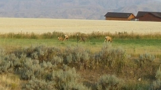 While sitting in the kitchen on the Ownbey Ranch discussing the possibility of an elk hunt, two mule deer does, both with a fawn, just happened to stroll through the ranch yard in the Heart Mountain area near Cody, Wyoming. There is a draw that runs along the yard where the mule deer follow as a natural trail bringing them into the yard.