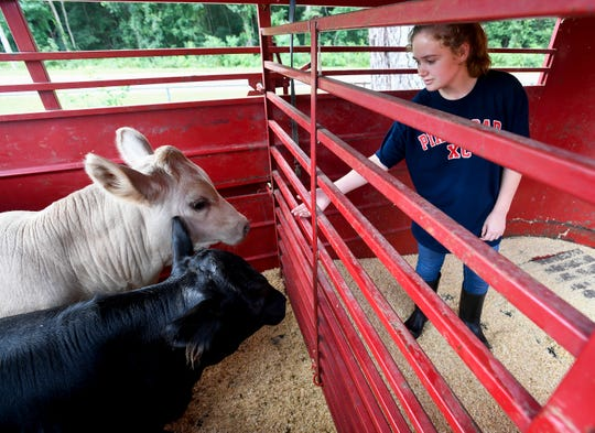 Pike Road High School student Amanda Crittenden brings her cows to school for a class project on Tuesday August 14, 2018.