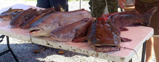 Some of the catfish Paul Womack and his friends have caught on their weekend trips to Cheatham Lake.