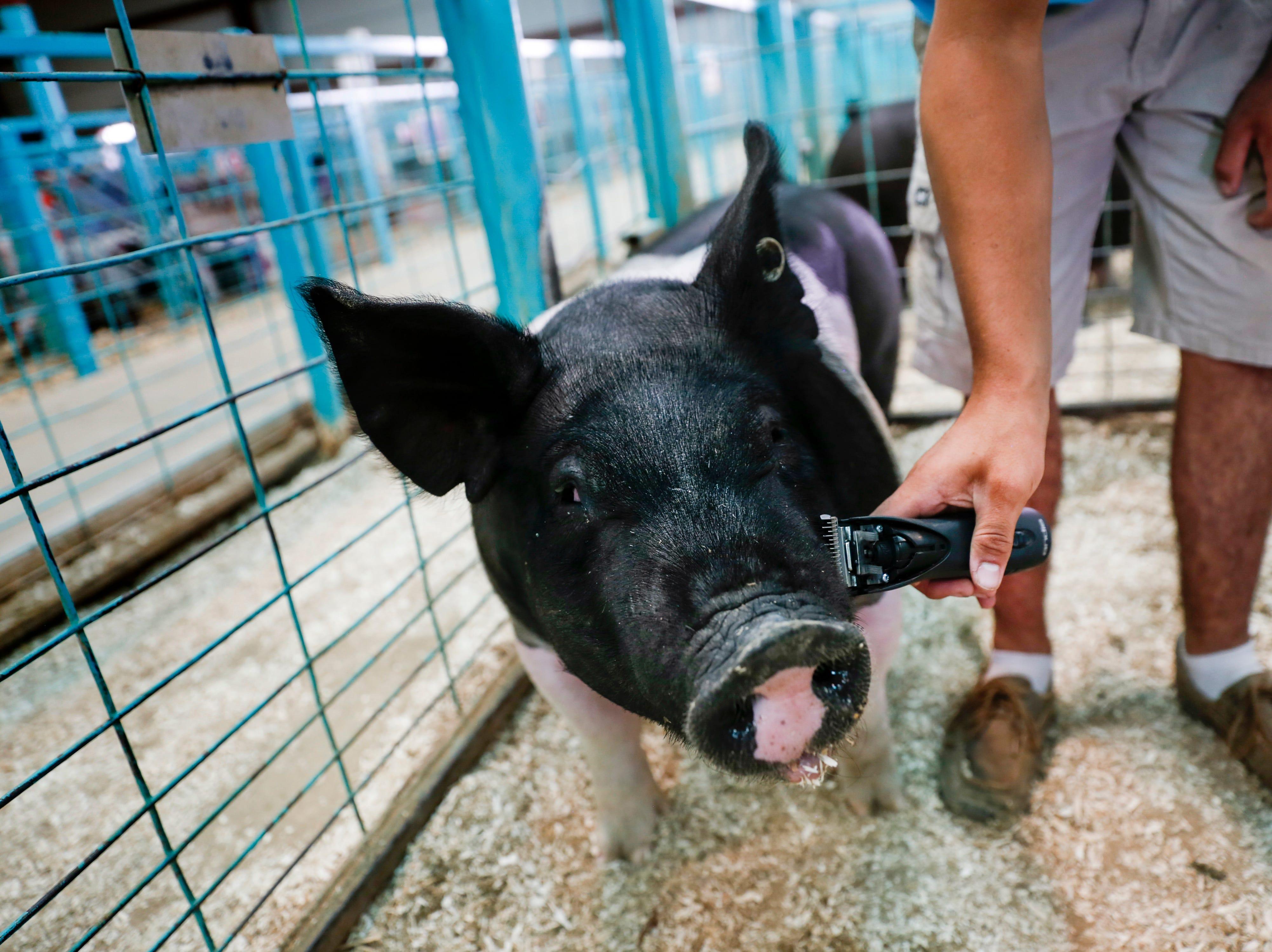 Ty Velasquez gives his hog Melman a shave, Tuesday, Aug. 14, 2018 at the San Juan County Fair at McGee Park in Farmington.