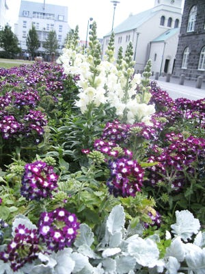 Despite its frigid name, Iceland blooms extravagantly beautiful flowers in the summer.