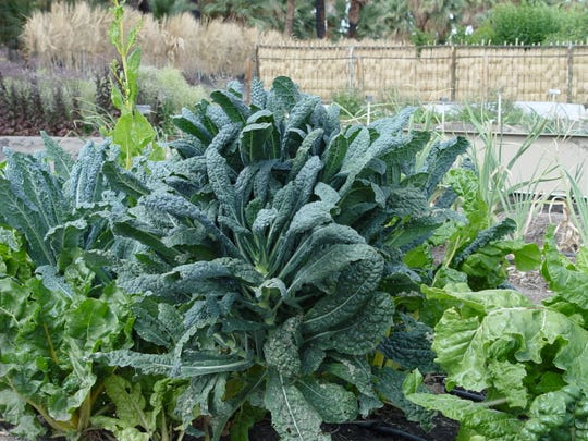 Called dinosaur kale due to large size and tolerance of both heat and cold, Toscano is the most reliable for the desert.