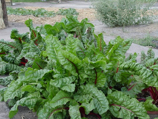 Swiss chard with its red stems and lush green leaves cooks quickly and is always so tender.