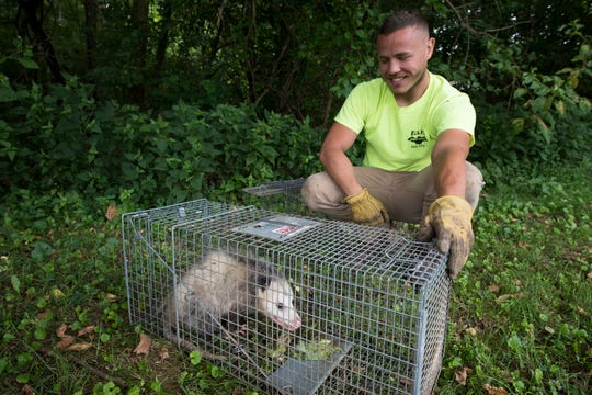 Mike Ellis, whose father owns the business, picks up a possum that was trapped while targeting other nuisance animals, such as burrowing groundhogs. The possum was relocated.
