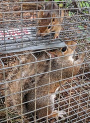 A squirrel and chipmunk wait to be transported and released after they were captured in a trap.