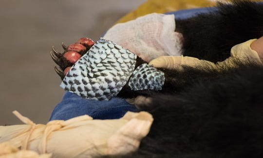 Tilapia skin partially covers one of the Carr Fire bear's burned paws during last week's surgery.