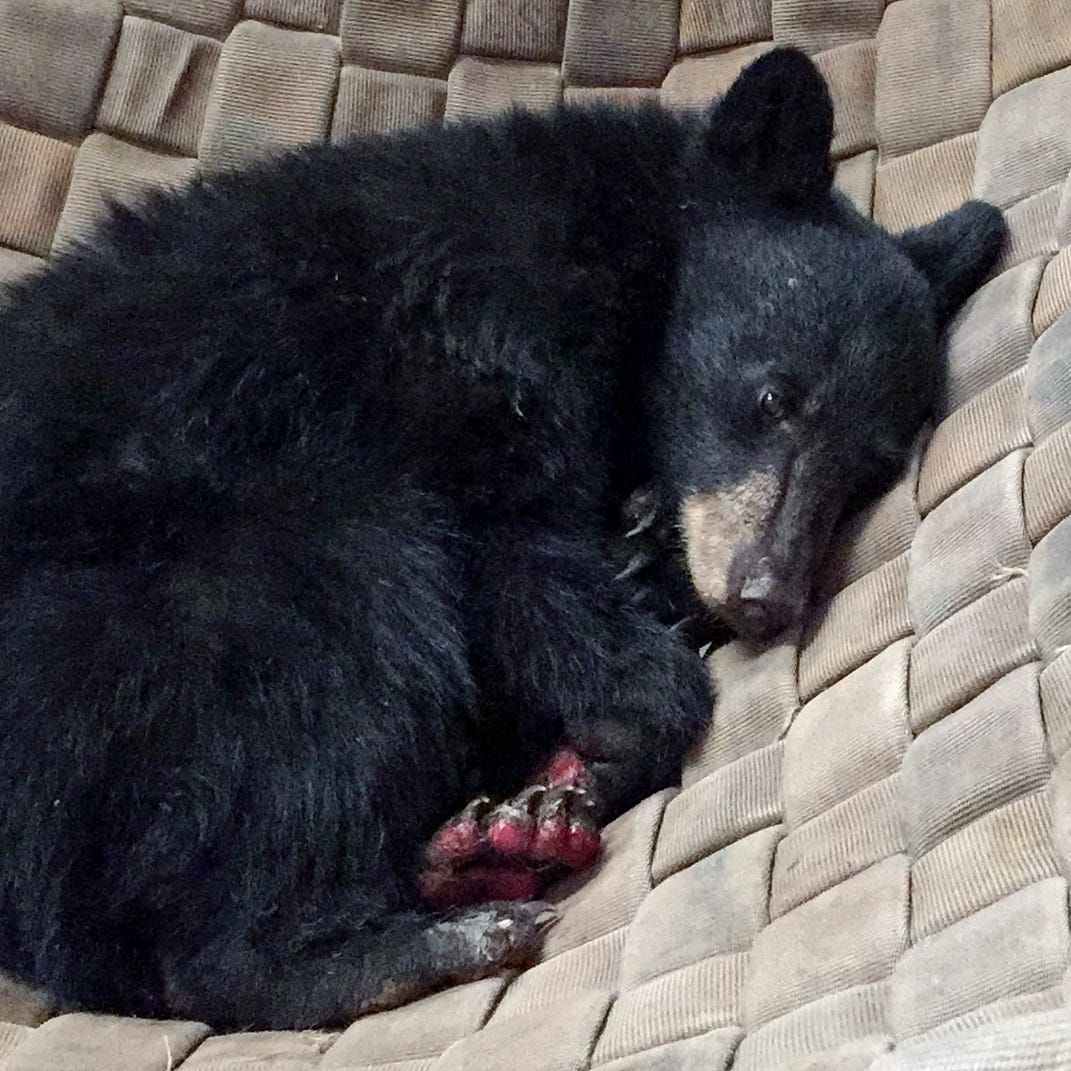 Carr Fire bear kicking back in hammock as her burned paws heal
