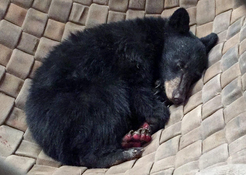 Carr Fire endure kicking again in hammock as her burned paws heal