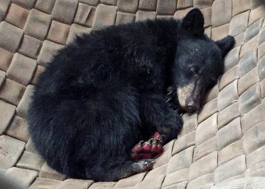 The Carr Fire bear whose paws were burned in the blaze at Whiskeytown awaits treatment last week at a state Department of Fish and Wildlife lab in Rancho Cordova.