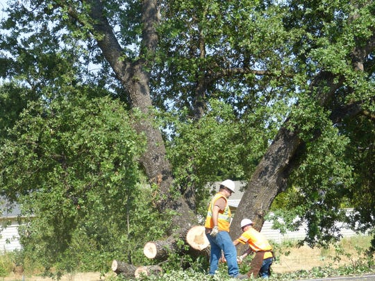 California Department of Transportation workers clean up the massive oak tree that fell along Interstate 5 late Tuesday afternoon.