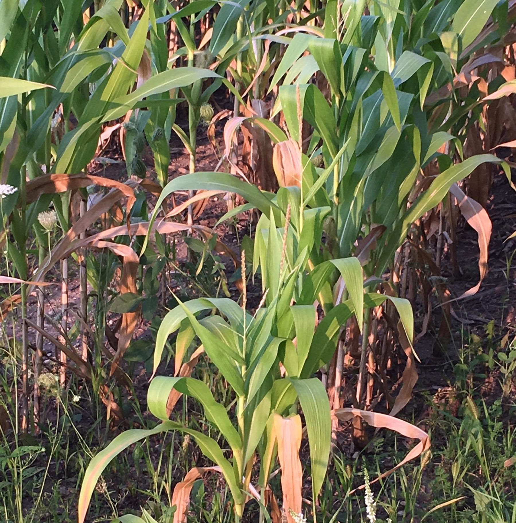 Wisconsin crops endure another week of hot, muggy weather with isolated showers