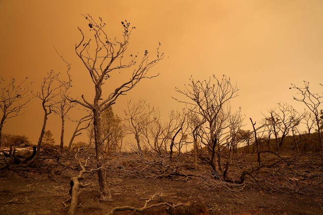 Trees burned by the Mendocino Complex fire stand in a field on August 8, 2018 near Lodoga, California. The Mendocino Complex Fire, which is made up of the River Fire and Ranch Fire, has surpassed the Thomas Fire to become the largest wildfire in California state history with over 300,000 acres charred and at least 115 homes destroyed.