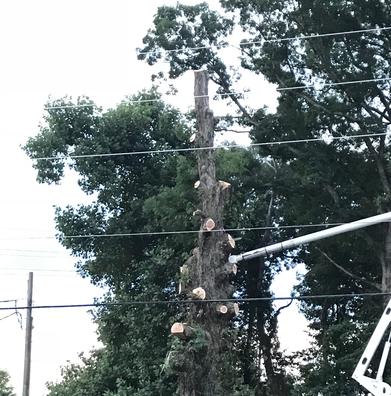 South Asheville tree vandalism suspect arrested, police say