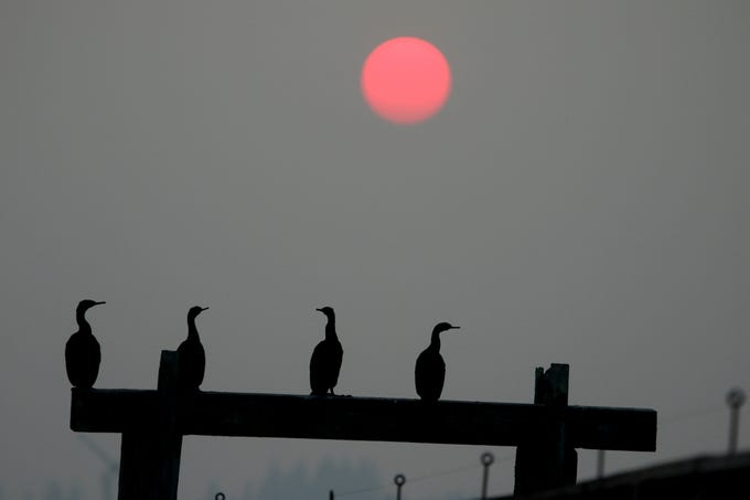 Cormorants on Beach Drive in Port Orchard as the sunsets through the haze on Tuesday August 14, 2018.