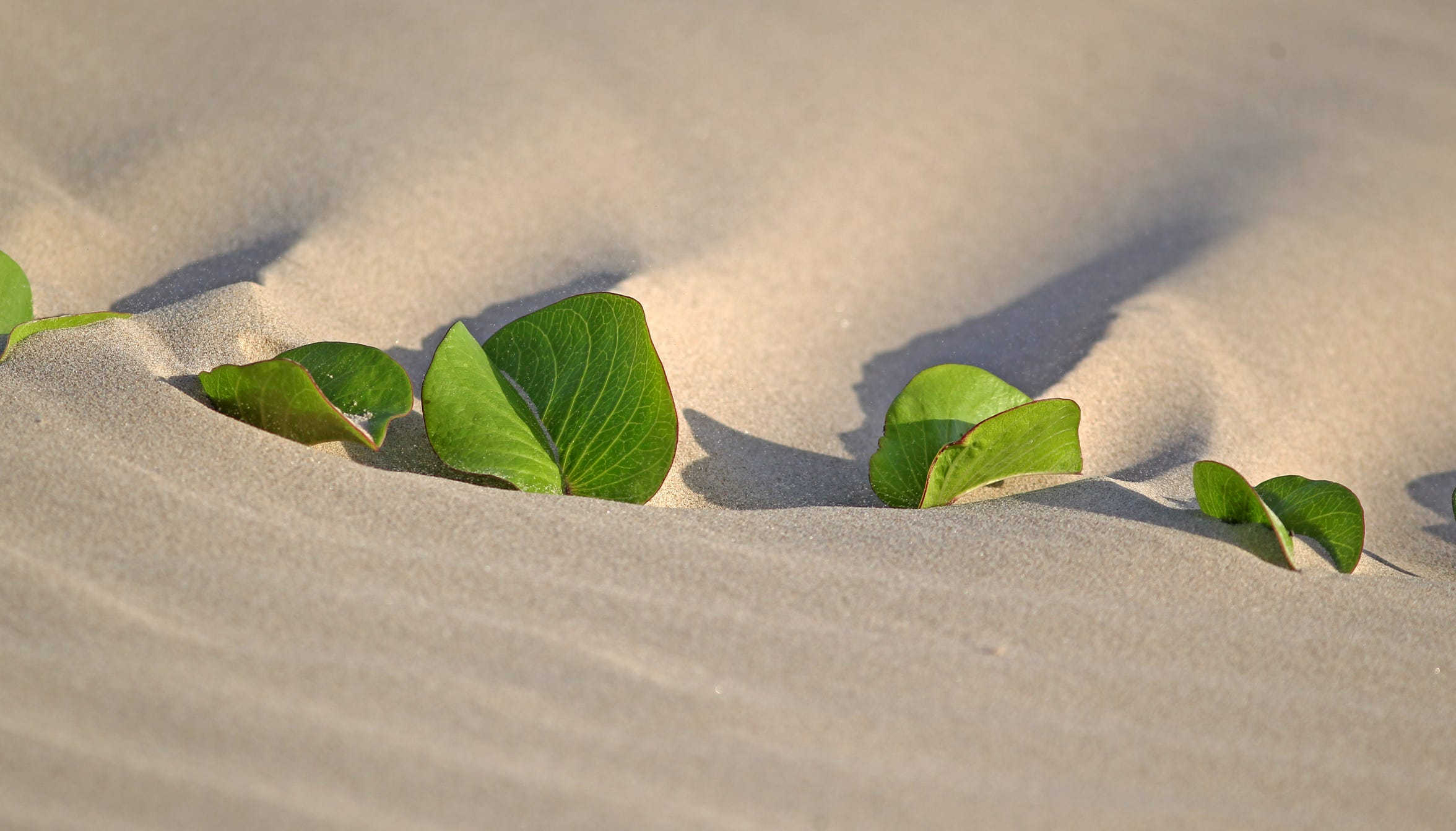 Railroad vines cover many of the dunes on the national seashore.