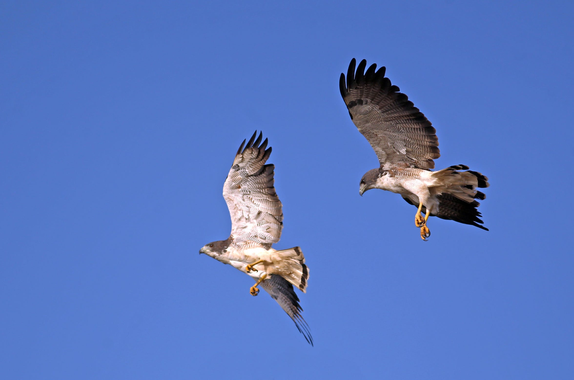 A pair of white-tailed hawks put on a show about midway down Padre Island National Seashore.