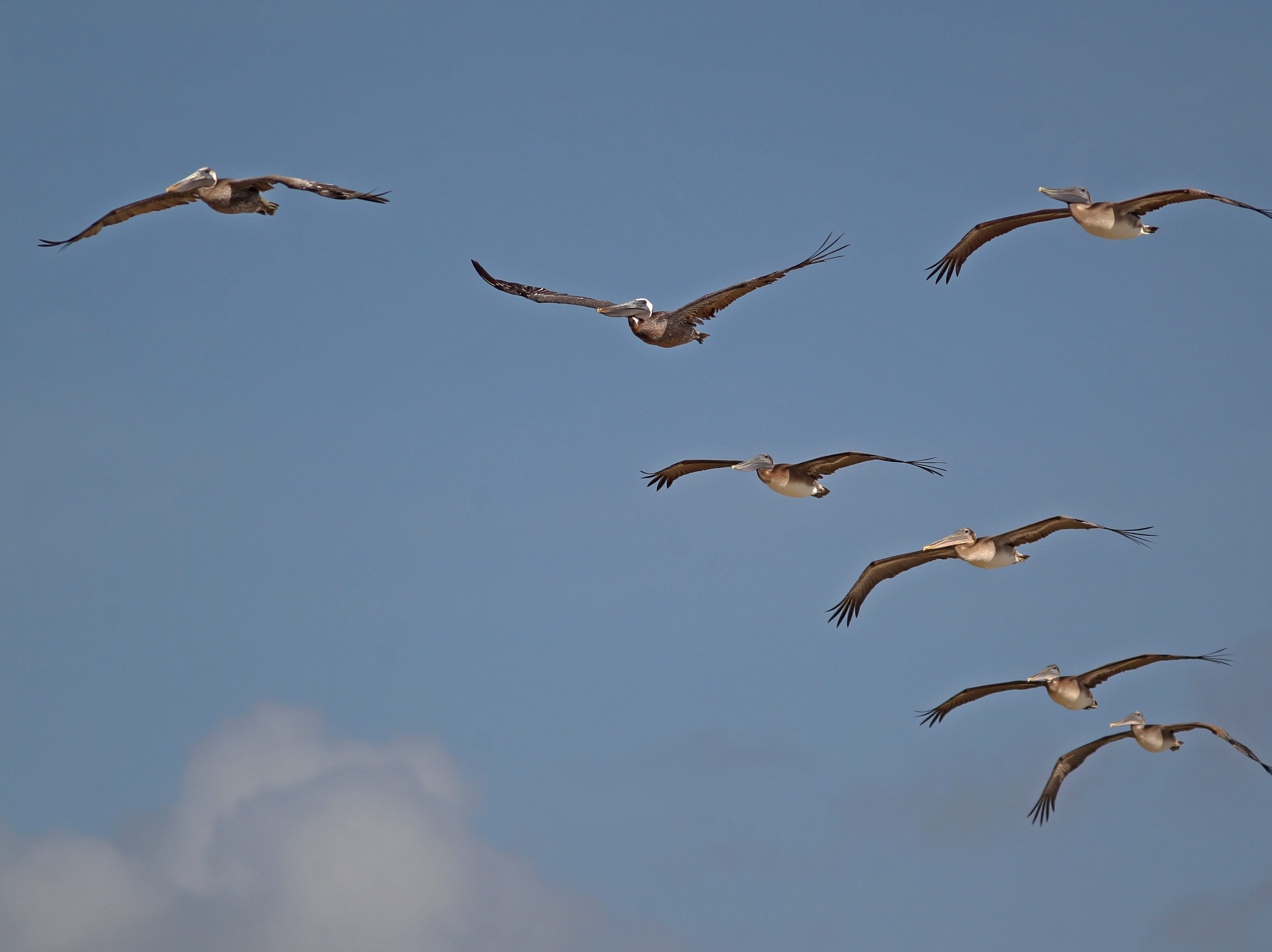 Flocks of the icon brown pelican frequently are spotted sailing over the dunes of Padre Island National Seashore.