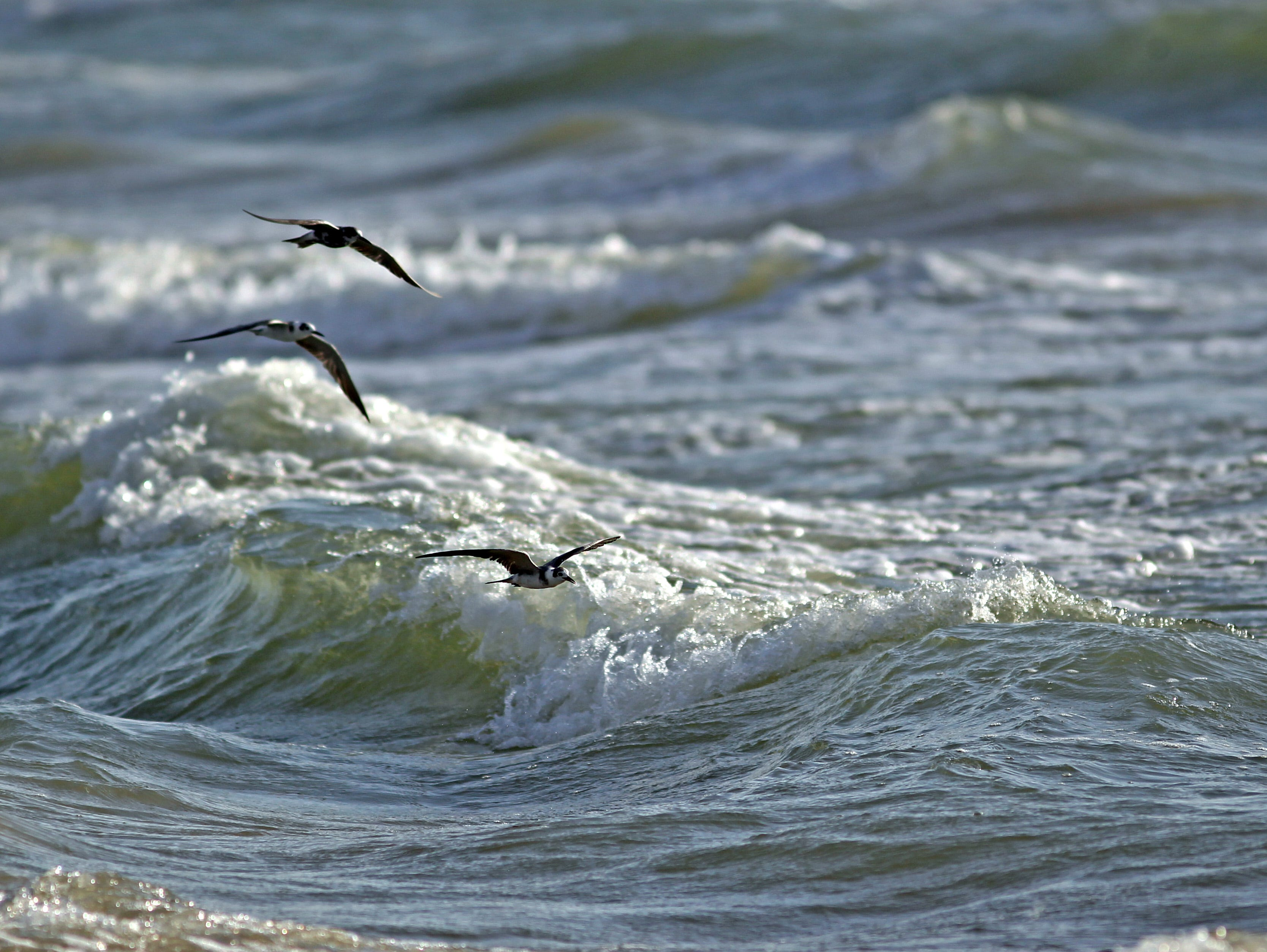 These are black terns, a migratory species that signals the start of the dusky anchovy run along the beach, which triggers a feeding frenzy among predator fish.